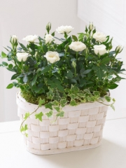 Cream Rose Sympathy Basket